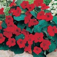 Nasturtium Empress of India_image