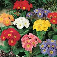 Primula Polyanthus Large Flowered Mixed_image