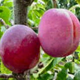 'Opal' Plum Tree_thumb