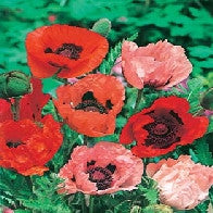 Poppy Oriental Choice Mixed