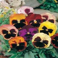 Pansy Swiss Giants Mixed
