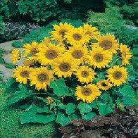 Sunflower Little Leo Dwarf variety