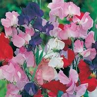 Sweet Pea Galaxy Mixed_image