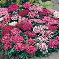 Sweet William 'Monarch Mixed'_image