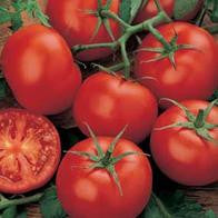 Tomato Moneymaker (Standard) seeds
