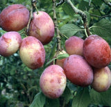 'Victoria' Plum Tree_thumb