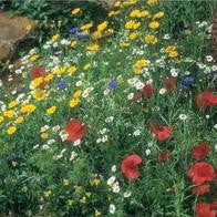 Wildflower Cornfield Mixture_image