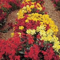 Wallflower Dwarf Bedding Mixed_image