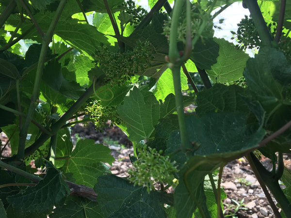 Blooming in the Vineyard, Booming in the Winery
