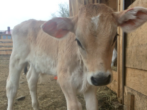 A young Brown Swiss dairy calf