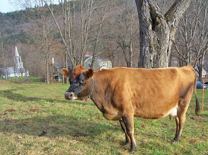 A dark brown Jersey Cow named Ruby