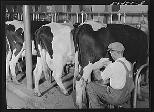 Black and White photo of a man in overalls milking a Holstein cow by hand milking