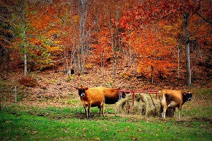 Bright Red fall leaves on trees with three Jersey Cows