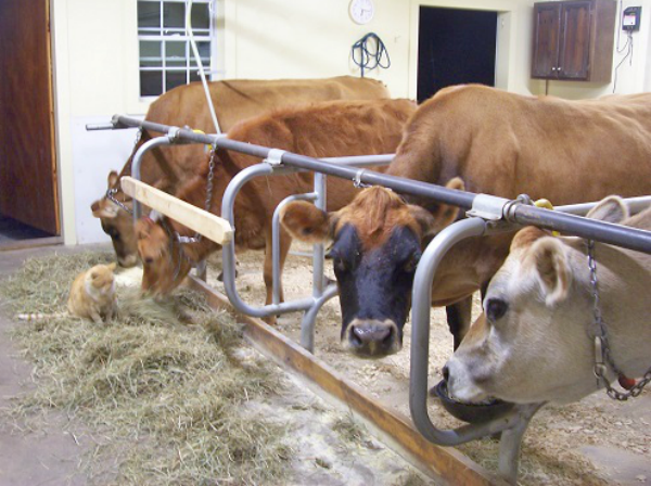 Step 24: Preparing Your Cows for Winter
