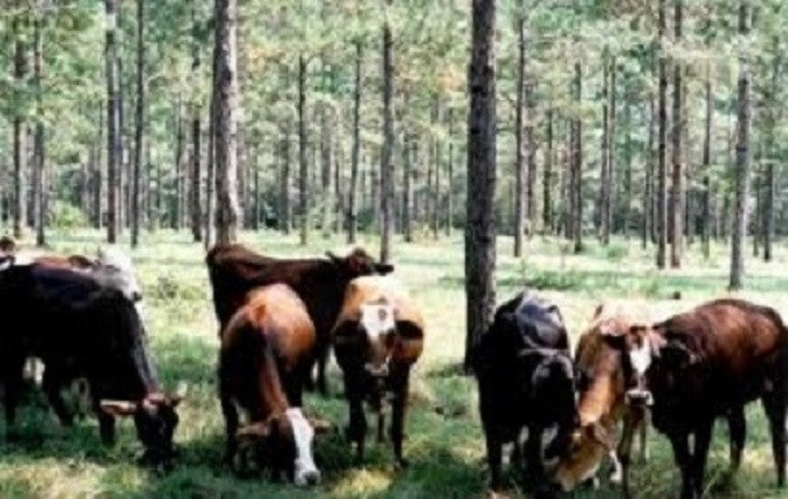 Bonus Step 31: Grazing Your Cows on Wooded Pasture