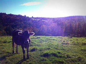 Jersey cow stands on a hill with Vermont Hills behind her and the sun bright