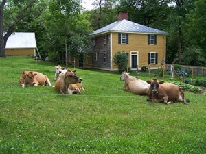 five Jersey Cows lounging on grassy pasture next to a family home and garden at Bob-White System's Micro Dairy
