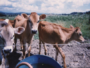 Three curious Jersey Calves hanging out at a water trough with a cloudy blue sky behind them.