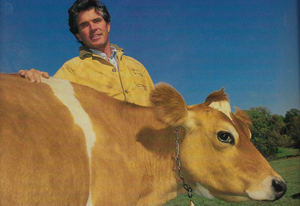 A 1980's photo of Steve Judge with his Jersey Cow in a pasture at his dairy.