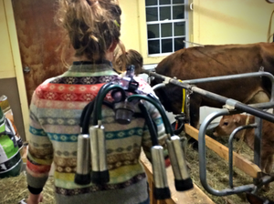 Bob-White System's staff member holding a NuPulse Milking Claw over her shoulder with Jersey Cows in stalls