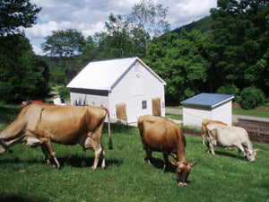 Three Jersey Cows grazing in front of a the Bob-White Systems dairy barn