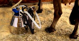Cow Milking Systems