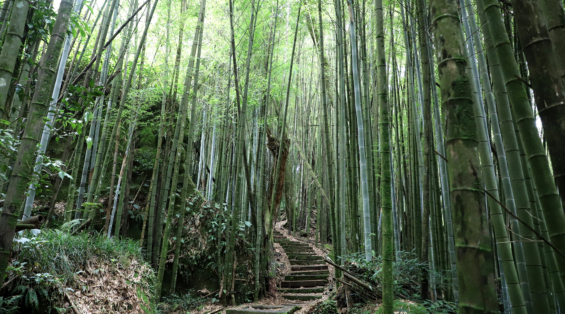Bamboo forests efficiently sequester carbon