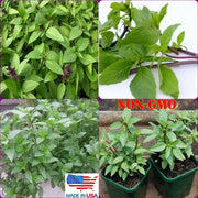 Thai Basil Seeds Organic Ocimum basilicum Herb Seeds FREE SHIPPING DOMESTIC USA