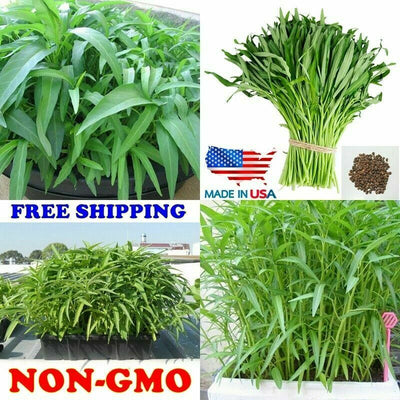 200 Seeds Water Morning Glory Water Spinach Kangkong Seed River Spinach FREE SHIPPING