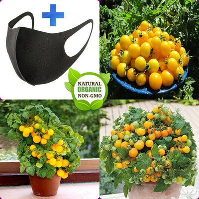 30 Seeds Tiny Tim Yellow Tomato Fruits Seeds NON-GMO Organic Seeds FREE SHIPPING + FREE GIFT
