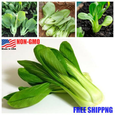 300 Seeds Bok Choy Brassica Rapa Subsp Pak Choi Chinese Cabbage FREE SHIPPING