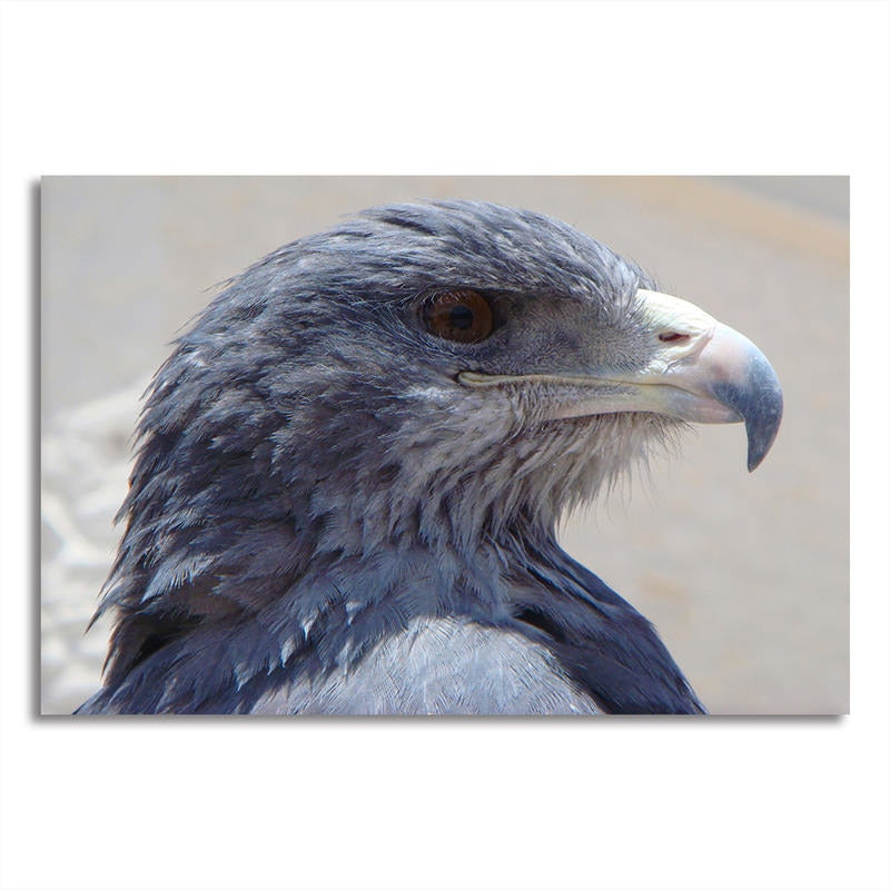Eagle Portrait - Rolled Canvas Print Only (BXY202)