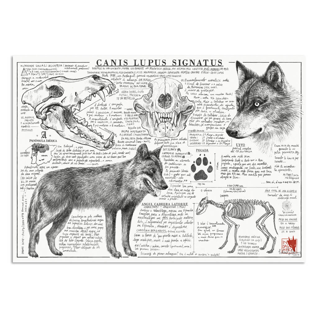 Canis lupus signatus illustration art print | Indagatio
