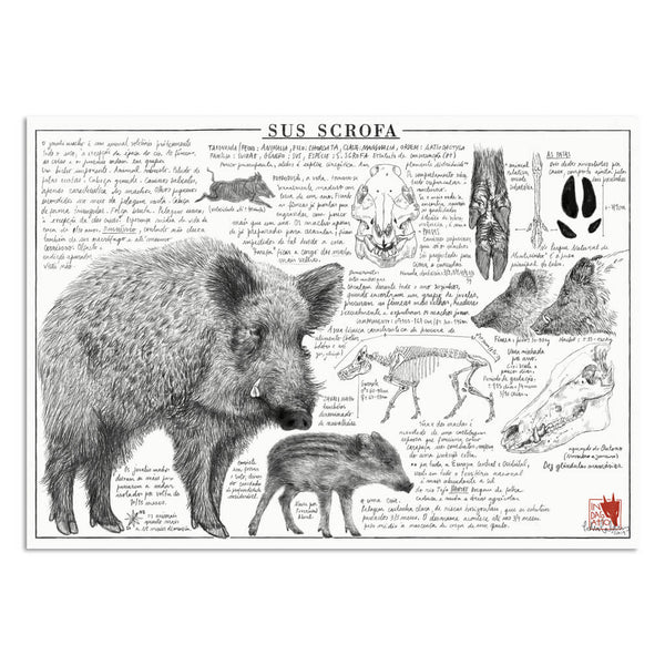 Sus scrofa illustration art print | Indagatio