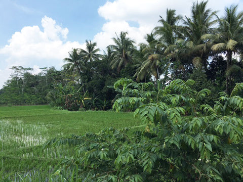 Indonesia: A Photo Essay - Rice Paddy, Central Java