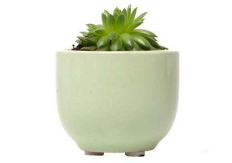 Chive Succulent Green Cup