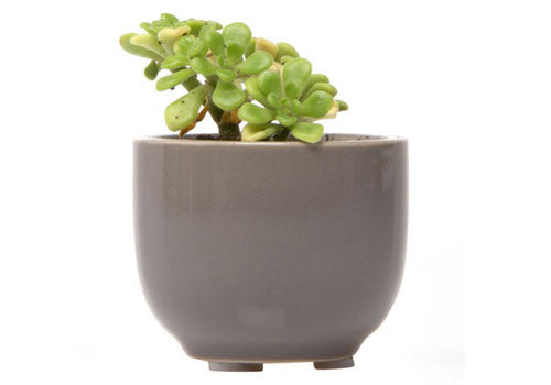 Chive Succulent Grey Cup
