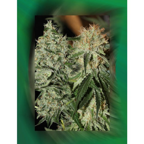 Strawberries and Cream Feminized Cannabis Seeds