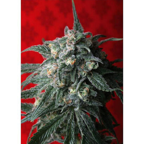 A-Train Female Cannabis Seeds