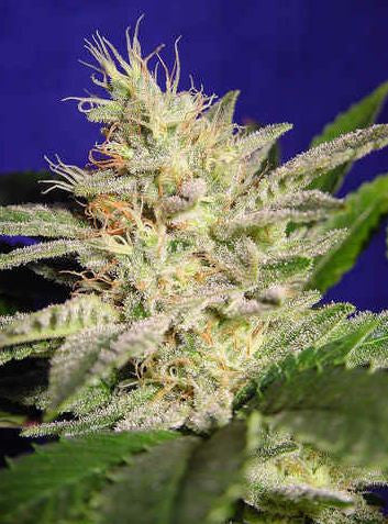 Allkush (Sheherazade) Cannabis Seeds