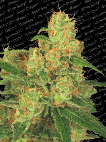 Auto Acid Auto Flowering Female Cannabis Seeds