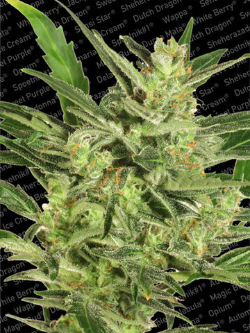 Automaria II Auto Flowering Female Cannabis Seeds