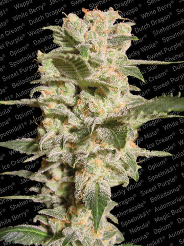 Bella Donna Feminized Marijuana Seeds