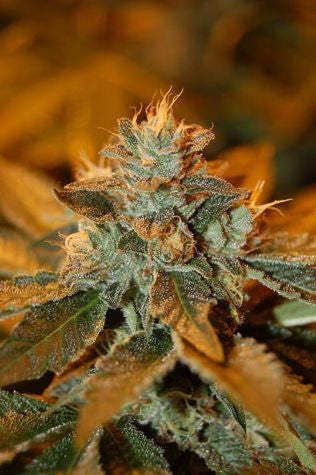 Cataract Kush Female Marijuana Seeds