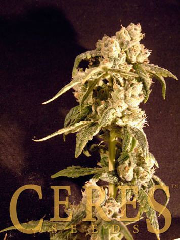 Easy Rider Female Cannabis Seeds