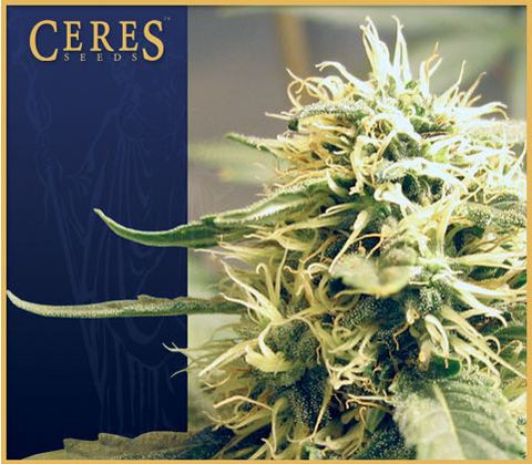 Ceres Kush Female Cannabis Seeds