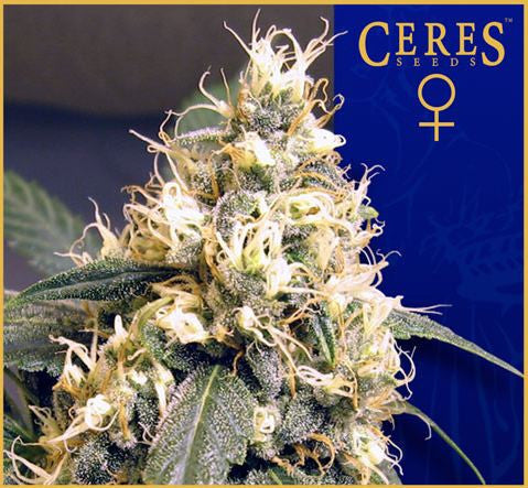 Ceres Skunk Female Cannabis Seeds