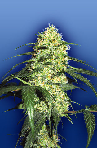 Dutch Delight Female Cannabis Seeds