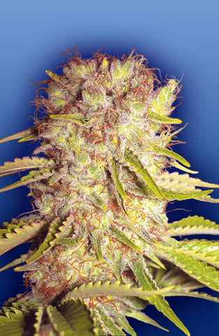 Dutchmen's Royal Orange Cannabis Seeds
