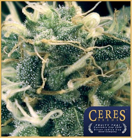 Fruity Thai Female Cannabis Seeds